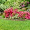 2.25gal Hershey Orange Azalea Plant with Pink Blooms - National Plant Network - image 3 of 3