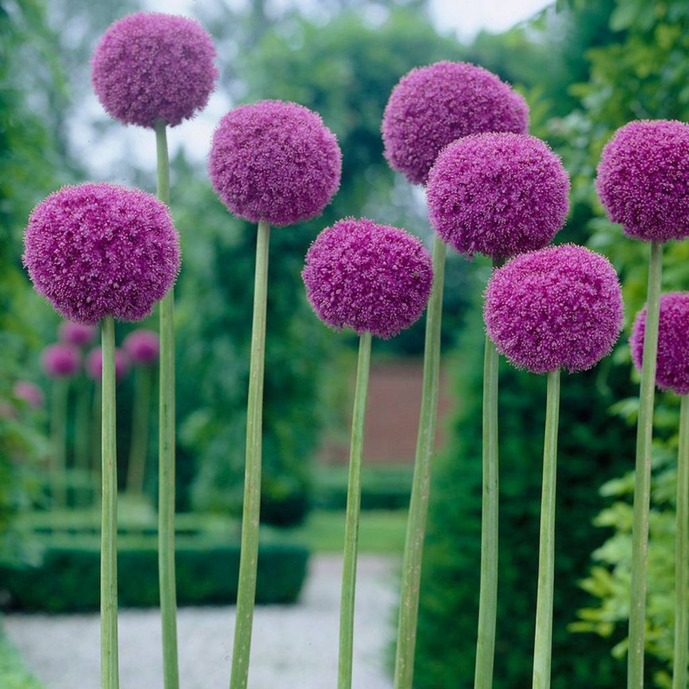 Image of Allium Giganteum Bulb - Van Zyverden