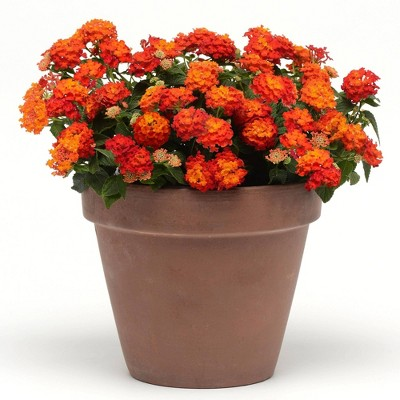 4pc Lantana Lucky Red - National Plant Network