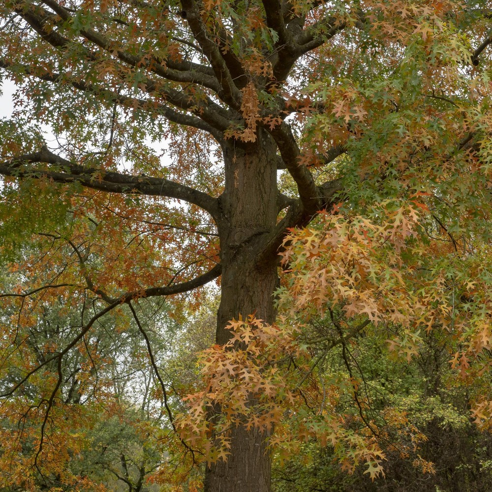 Image of 2.25gal Pin Oak Tree - National Plant Network