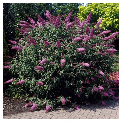 Buddleia 'Pink Delight' 1pc - National Plant Network U.S.D.A Hardiness Zone 5-9