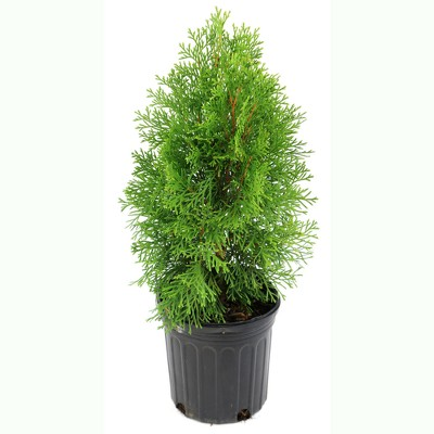 Arborvitae 'Green Giant' U.S.D.A. Hardiness Zones 5-8 Cottage Hill