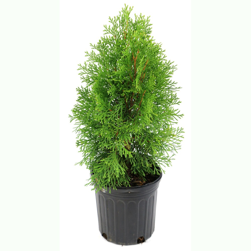 Arborvitae 'Green Giant' 1pc U.S.D.A. Hardiness Zones 5-8 Cottage Hill 2.5qt