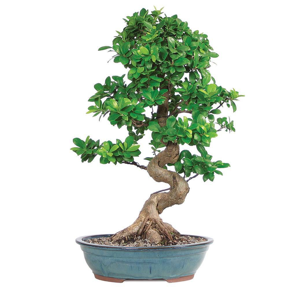 Image of Grafted Ficus Live Houseplant - Brussel's Bonsai