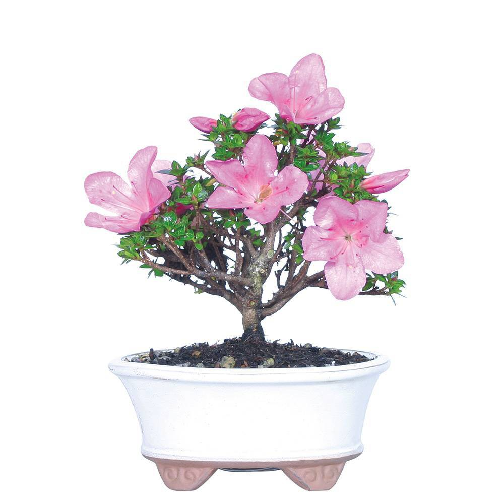 Image of Small Asalea 'Kazan' Live Houseplant - Brussel's Bonsai