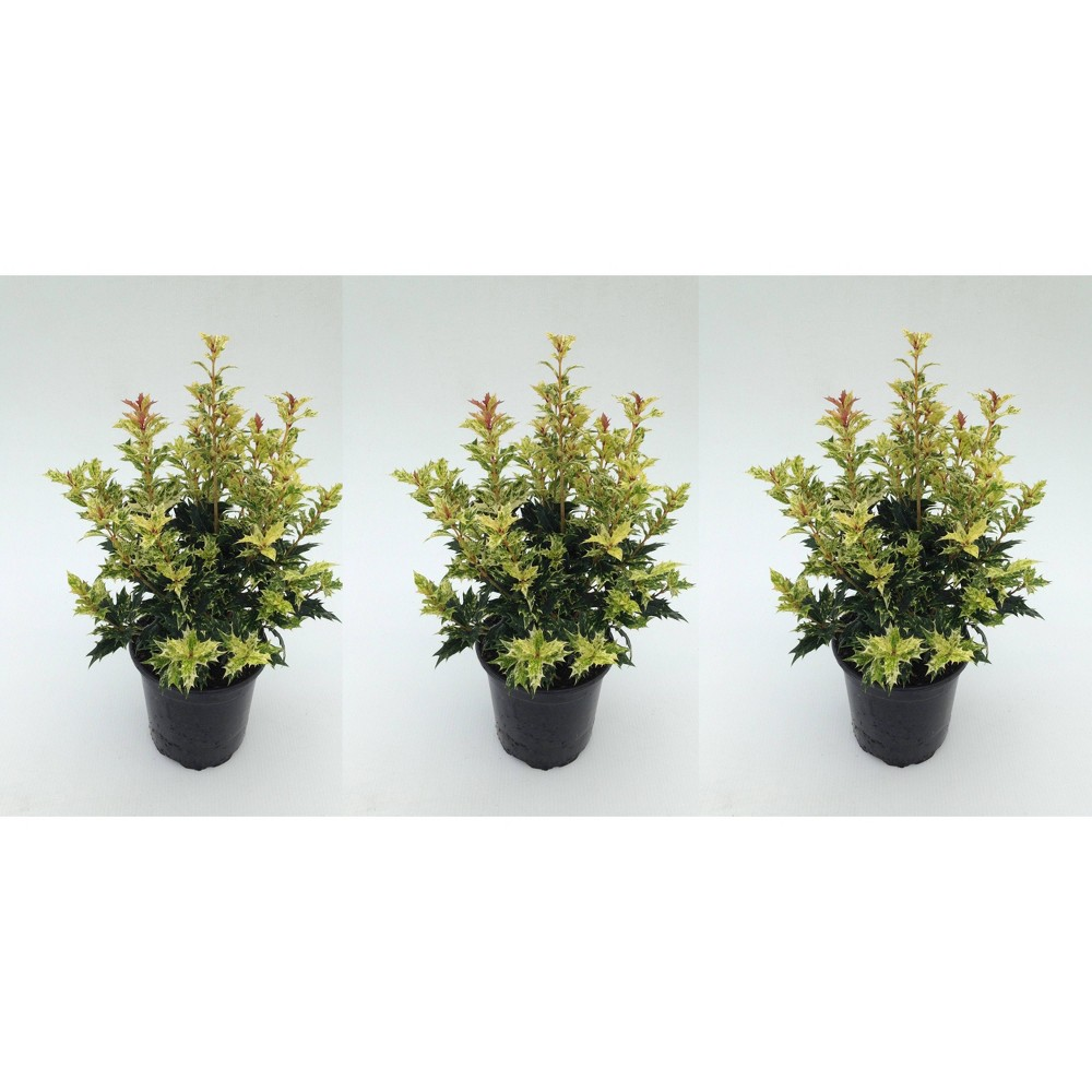 4 34 Goshiki Osmanthus Plant With Red Berries 3pk National Plant Network