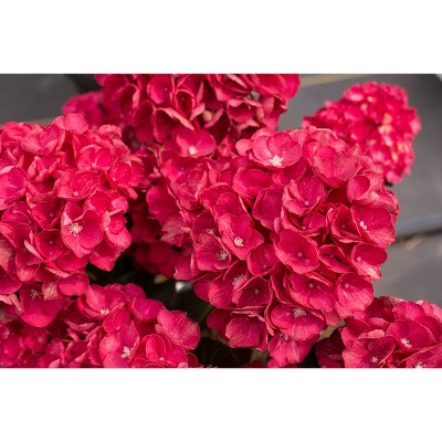 2.5qt Akadama Hydrangea with Red Blooms - National Plant Network