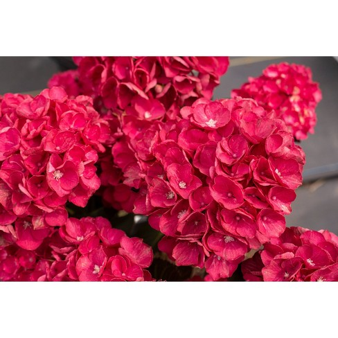 2.5qt Akadama Hydrangea with Red Blooms - National Plant Network - image 1 of 1