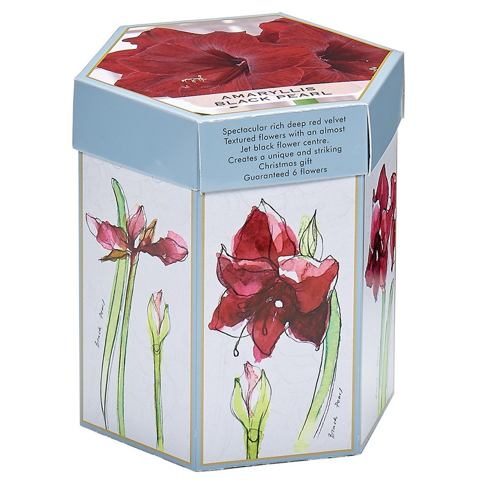 Hostess Gift Amaryllis Black Pearl Kit With Mammoth Bulb - Red - Van Zyverden