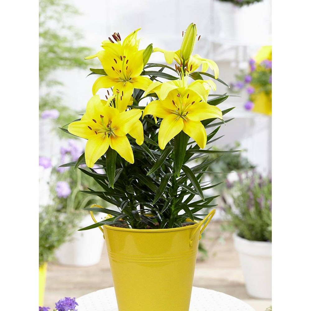 Image of 1ct Patio Lily Lemon Pixie in Yellow Metal Planter and Growers Pot - Van Zyverden