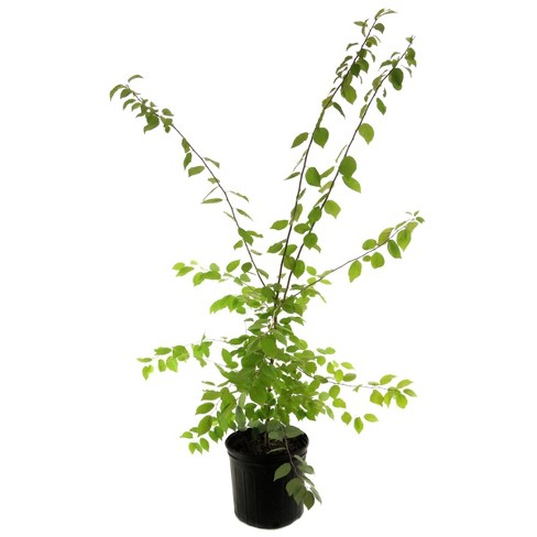 2.25gal Mexican Plum Tree - National Plant Network - image 1 of 1
