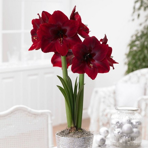 1ct Mega Amaryllis Bulb Red Pearl Limited Availability - Van Zyverden - image 1 of 4