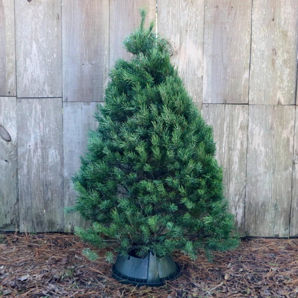 Image of Live Scotch Pine Fresh Cut Christmas Tree - Cottage Hill Nursery