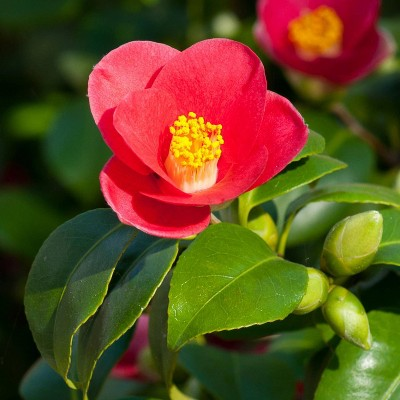 3pc Camellia 'Yuletide' - National Plant Network