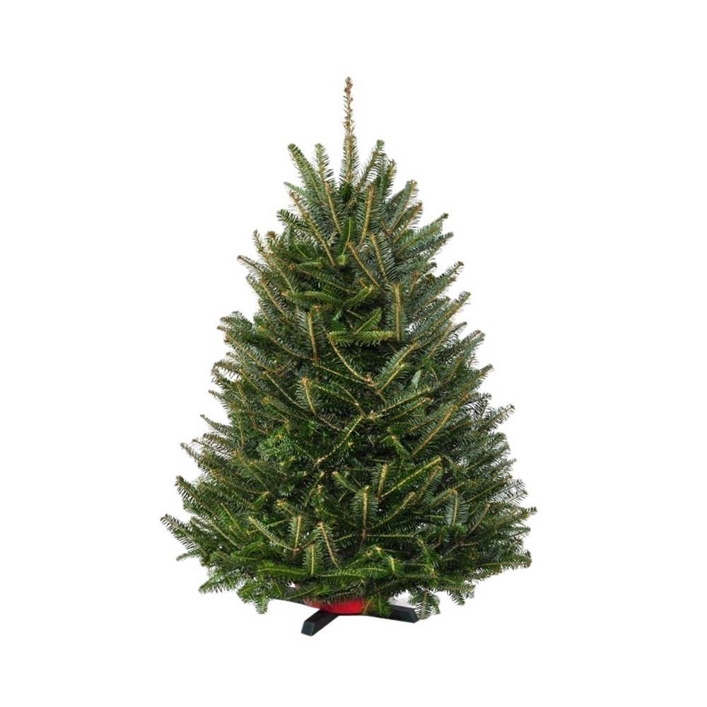 32' to 42' Live Fresh Cut Fraser Fir Table Top Christmas Tree - Cottage Hill