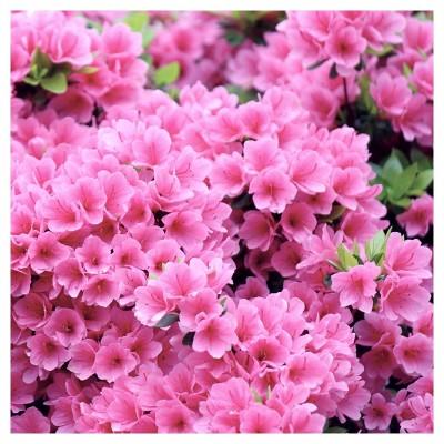 Azalea 'Pink Ruffle' 1pc - National Plant Network U.S.D.A Hardiness Zone 8-10