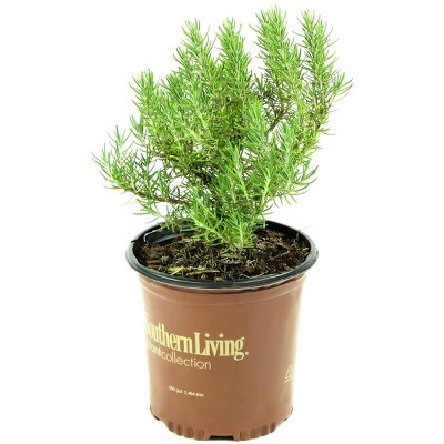 Rosemary 'Chef's Choice' 1pc U.S.D.A. Hardiness Zones 7-10 Cottage Hill 2.5qt