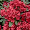 2.25gal Hershey Orange Azalea Plant with Pink Blooms - National Plant Network - image 2 of 3
