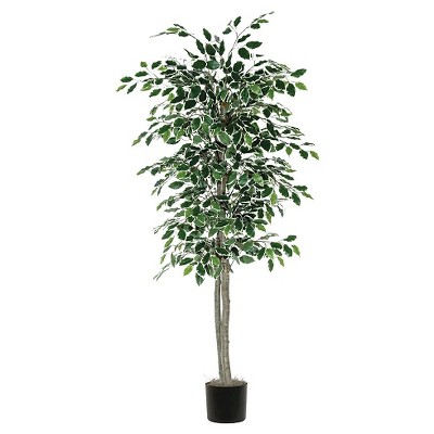 Variegated Ficus Tree in Black Plastic Pot (6ft)