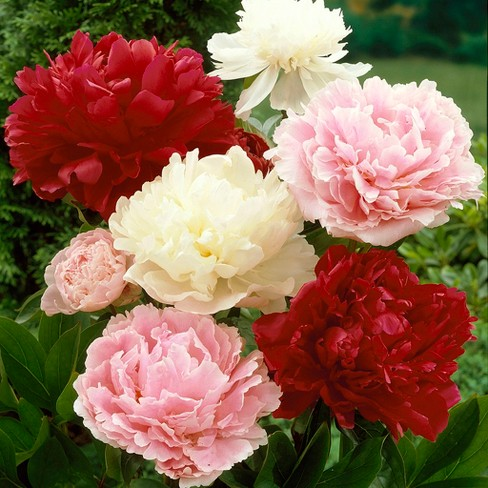 Peonies Mixed Colors Set of 6 Roots - Van Zyverden - image 1 of 3