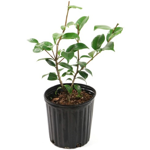 2.5qt Blood of China Camellia Japonica Plant with Red Blooms - National Plant Network - image 1 of 1