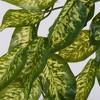 "Vickerman 24"" Artificial Green Dieffenbachia Bush Vine. - image 2 of 4"