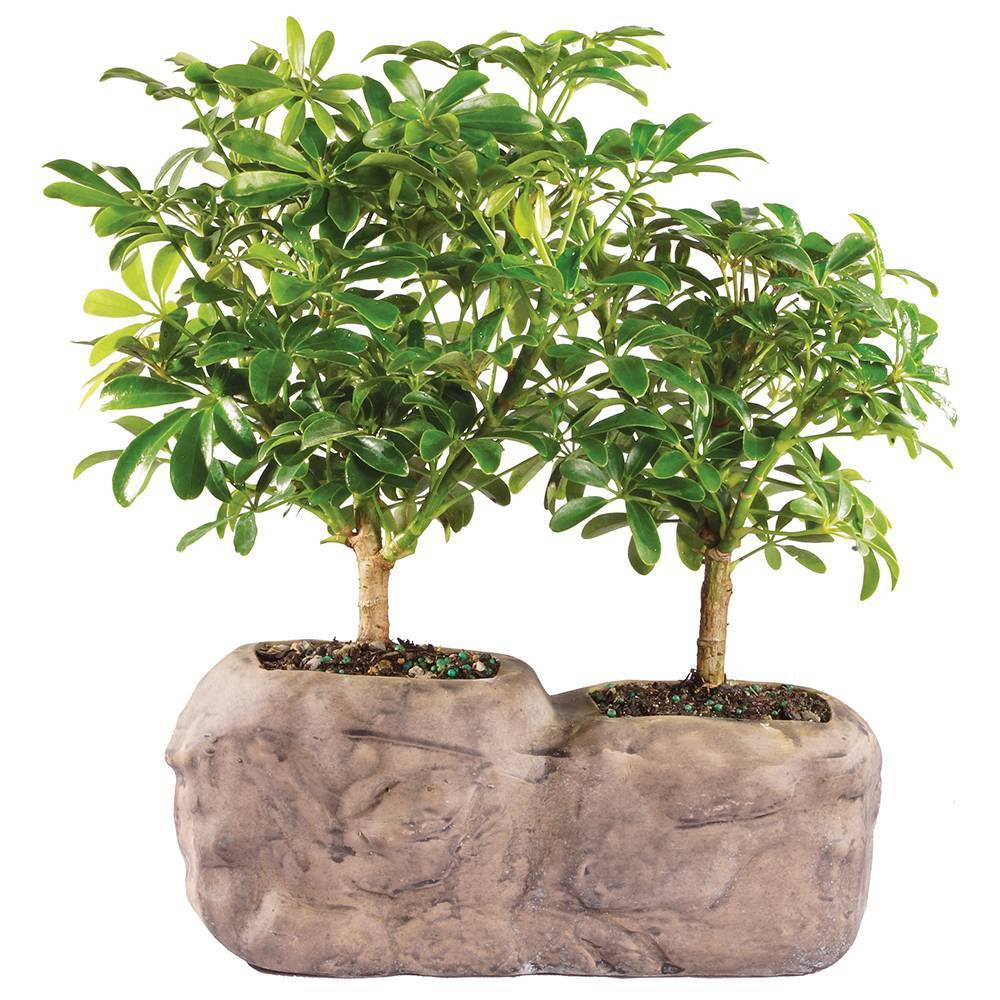 Image of Large Hawaiian Umbrella Indoor Live Houseplant - Brussel's Bonsai