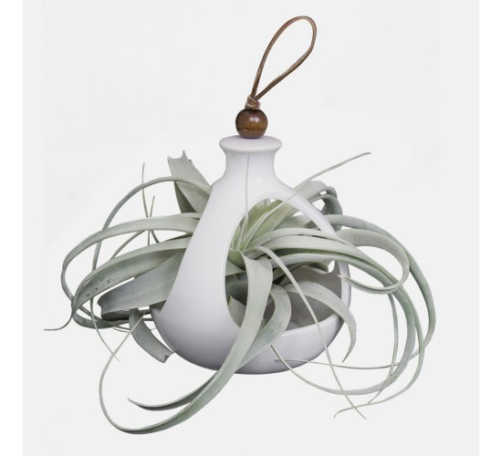 Live Exotic Living Xerographica Air Plant In Decorative Hanging Container - Livetrends Design