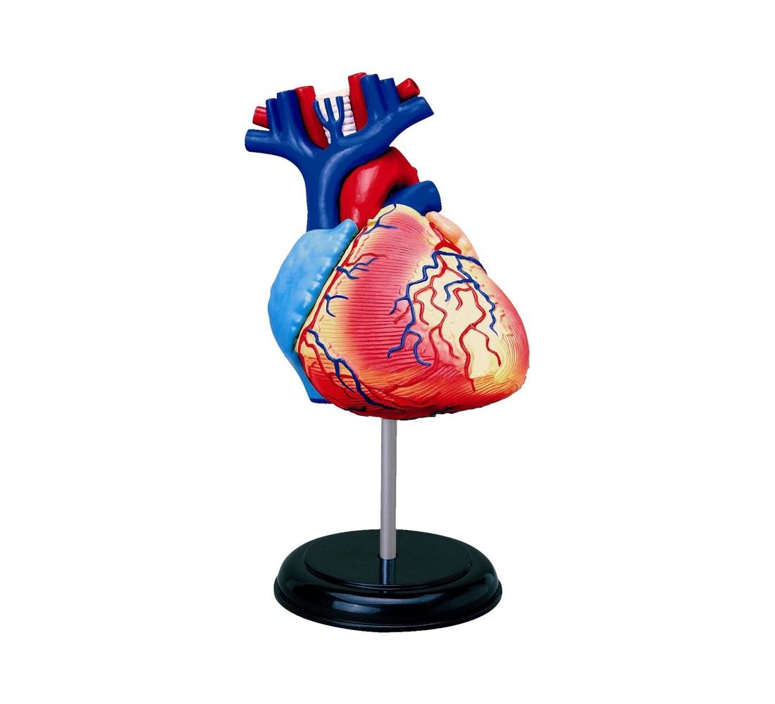 John N. Hansen Human Heart Anatomy Model-3.0