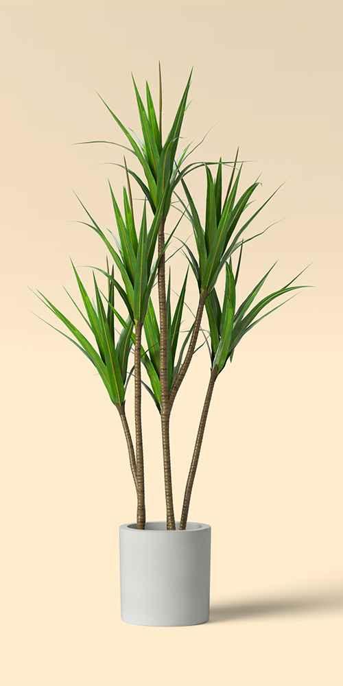 "65"" Dracaena Plant in Pot - Project 62™"
