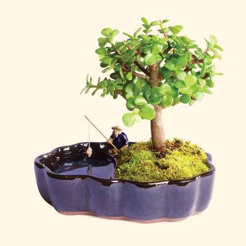 Dwarf Jade Bonsai in Zen Reflections Pot - Brussel's Bonsai